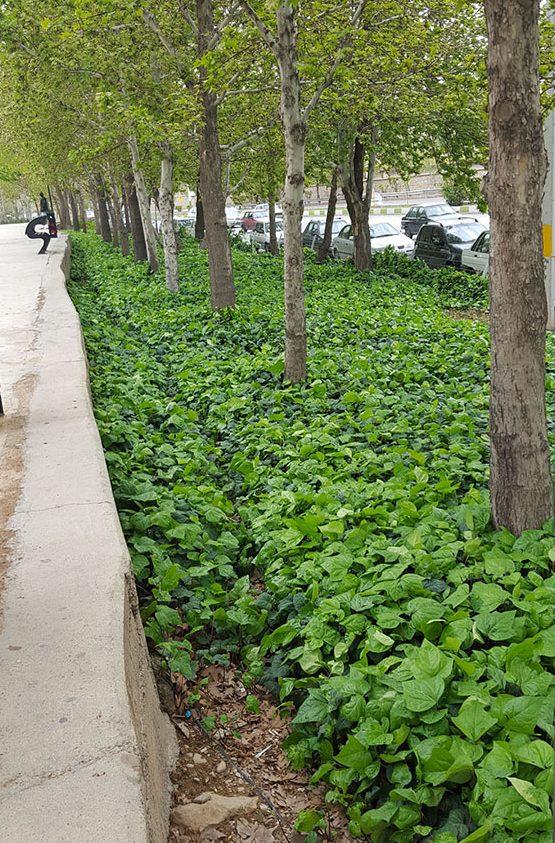 استفاده از گیاهان پوششی به جای چمن